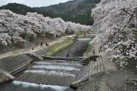 満開を迎えたうぐい川沿いの桜並木=滋賀県甲賀市土山町鮎河で2016年4月8日、村瀬優子撮影