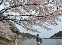 手入れを続けて満開になった桜を見上げる元町職員ら=福島県大熊町の坂下ダムで2016年4月7日、乾達撮影