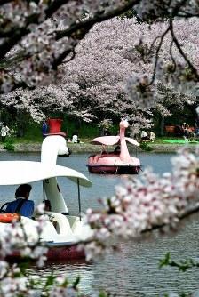 岸辺に咲いた桜を遊覧ボートから楽しむ市民ら=兵庫県明石市の県立明石公園剛ノ池で2016年4月9日、駒崎秀樹撮影
