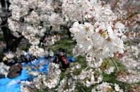 春風に吹かれ散りゆくソメイヨシノ=埼玉県熊谷市河原町の荒川土手で2016年4月9日、橋本政明撮影