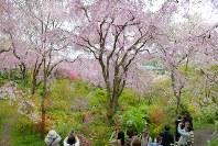 見ごろを迎えた原谷苑の桜=京都府北区で2016年4月10日、小松雄介撮影