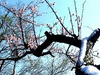 開花したサクラの枝に残る雪=宮城県大崎市鳴子温泉地区で2016年4月12日、山田研撮影