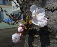 横手中心部で開花したソメイヨシノ=秋田件横手市で2016年4月11日、佐藤伸撮影