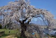 満開になったシダレザクラ「関所破りの桜」=長野県佐久市の市五郎兵衛記念館前で2016年4月12日、武田博仁撮影