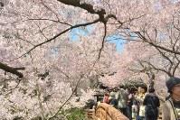 本丸跡に通じる桜雲橋で花を楽しむ人たち=長野県伊那市の高遠城址公園で2016年4月12日、宮坂一則撮影