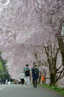 満開のしだれ桜の下を親子連れがゆっくりと散歩していた=福井県坂井市丸岡町山竹田のたけくらべ広場で2016年4月12日、竹内望撮影
