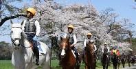 馬上から桜の花を眺める騎手候補生たち=栃木県那須塩原市の県畜産酪農研究センターで2016年4月12日