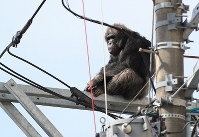 A chimpanzee sits on top of a power pole after escaping from Sendai Yagiyama Zoological Park in Sendai on April 14, 2016. (Mainichi)