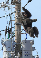 A chimpanzee falls from a power pole after being hit with a tranquilizer dart in Sendai's Taihaku Ward on April 14, 2016. (Mainichi)