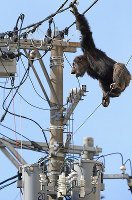 A chimpanzee clings to a power line after escaping from Sendai Yagiyama Zoological Park in Sendai's Taihaku Ward on April 14, 2016. (Mainichi)