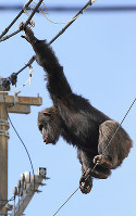 A chimpanzee that escaped from Sendai Yagiyama Zoological Park looks down on zoo workers and other people as it clings to a power line, in Sendai's Taihaku Ward on April 14, 2016. (Mainichi)