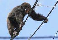 A runaway chimpanzee is seen walking on power lines in Sendai on April 14, 2016. (Mainichi)