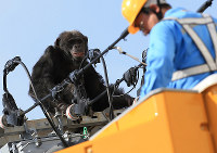 A chimpanzee on top of a power pole looks at a worker approaching on an aerial work platform in Sendai's Taihaku Ward on April 14, 2016. (Mainichi)