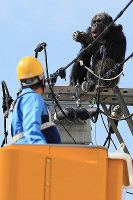 A chimpanzee sits on a power pole as a worker approaches on an aerial work platform in Sendai's Taihaku Ward on April 14, 2016. (Mainichi)