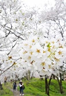満開のソメイヨシノ=山形市の霞城公園で2016年4月14日、藤井達也撮影