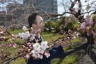 標本木のソメイヨシノが開花したのを確かめる気象台職員=秋田市山王7で2016年4月14日