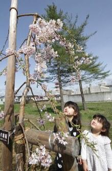 福島県三春町から一関市に贈られた「三春滝桜」が初めて花をつけた=岩手県一関市で2016年4月14日、和泉清充撮影