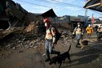 未明から続く地震で新たに倒壊した家屋のそばを通る救助犬=熊本県益城町で2016年4月16日午前6時57分、森田剛史撮影