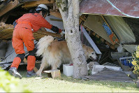 A search dog looks for anyone trapped in a collapsed house, in Mashiki, Kumamoto Prefecture, on April 17, 2016. (Mainichi)
