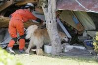 応援部隊による一斉捜索が始まり、倒壊家屋に人が残されていないか探す災害救助犬=熊本県益城町で2016年4月17日午後2時1分、三村政司撮影