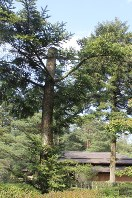 強風のため途中で折れた兼六園のモミの木。後方は時雨亭=金沢市で2016年4月17日午後3時7分、竹田迅岐撮影