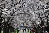 満開となったソメイヨシノの「桜のトンネル」=長野県佐久市の家畜改良センター茨城牧場長野支場で2016年4月15日、武田博仁撮影