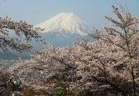 富士山を包み込むように咲く満開の桜=山梨県富士吉田市下吉田の富士見孝徳公園で、2016年4月16日、小田切敏雄撮影