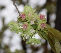 見ごろを迎えた淡緑色の桜「ギョイコウ」=埼玉県川口市南鳩ケ谷の三ツ和公園で2016年4月14日、鴇沢哲雄撮影