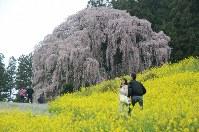 菜の花との共演が見事な「合戦場のしだれ桜」=福島県二本松市東新殿で2016年4月14日、土江洋範撮影