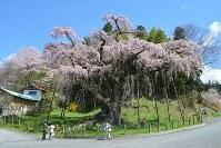 見ごろになった紅枝垂地蔵ザクラ=福島県山市で2016年4月15日、浅田芳明撮影