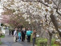 鈴なりに咲いた八重桜の花を見る参加者たち=滋賀県彦根市後三条町で2016年4月17日、西村浩一撮影