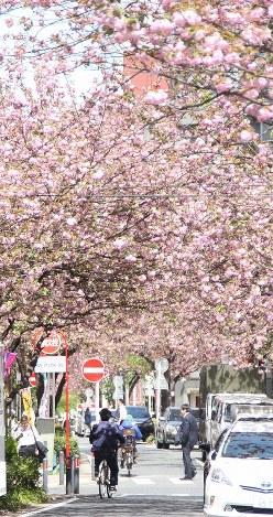 トンネルになった「関内桜通り」の八重桜=横浜市中区で2016年4月15日、宇多川はるか撮影