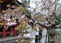 かれんに開花した国天然記念物の塩釜桜=宮城県塩釜市で2016年4月17日、渡辺豊撮影