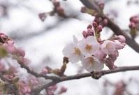 青森でソメイヨシノが開花=青森市花園の青森地方気象台で2016年4月17日、一宮俊介撮影