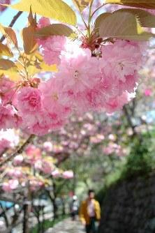 ピンクの花を咲かせた八重桜=愛媛県大洲市の祇園公園で2016年4月15日