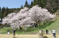 満開になった臥龍桜=岐阜県高山市で2016年4月15日、中村宰和撮影