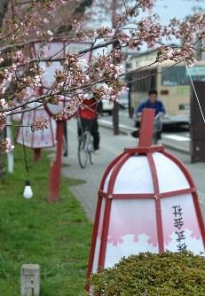 ソメイヨシノの花がほころんだ弘前公園。外堀では暴風で支柱が折れたり、紙が破れたりしたぼんぼりが続出=青森県弘前市で2016年4月18日、松山彦蔵撮影