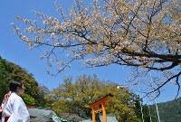 参拝客を楽しませている「秀衡桜」=和歌山県那智勝浦町の熊野那智大社で2016年4月19日