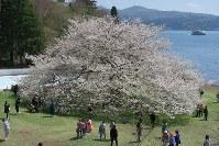 見ごろを迎えた箱根園の大島桜=神奈川県箱根町元箱根で2016年4月19日、澤晴夫撮影