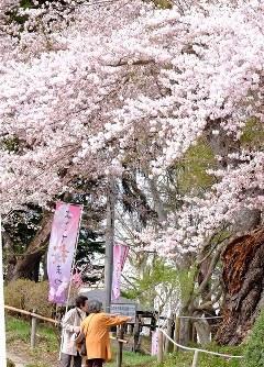 見ごろを迎えた横手公園のソメイヨシノ=秋田県横田市で2016年4月19日、佐藤伸撮影