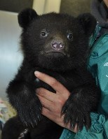 Poro, a baby bear born in January, is seen in the city of Gifu on April 20, 2016. (Mainichi)