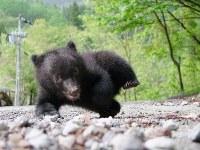 A baby bear born in January is seen in the city of Takayama, Gifu Prefecture. (Photo courtesy of the Okuhida Bear Park)