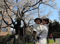 見ごろを迎えている石割桜=盛岡市内丸の盛岡地裁で2016年4月20日、藤井朋子撮影