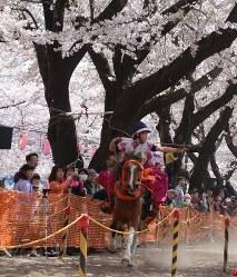 満開の桜の下、的をめがけて矢を射る女性騎士=青森県十和田市の中央公園で2016年4月23日