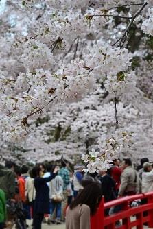 ボリュームたっぷりに咲き競う下乗橋付近のソメイヨシノ=青森県弘前市で2016年4月23日、松山彦蔵撮影