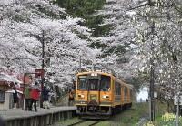 桜の間を走り抜ける津軽鉄道の「走れメロス号」=青森県五所川原市金木町の芦野公園で2016年4月23日、篠田航一撮影