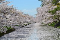 弘前公園外堀に出現したサクラの「花筏」=青森県弘前市で2016年4月27日、松山彦蔵撮影