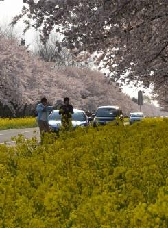 桜と菜の花の競演に、行楽客たちは停車してしばしみとれてしまう=秋田件大潟村で2016年4月27日、松本紫帆撮影