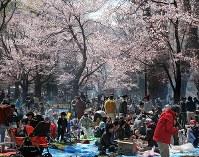 満開の桜の下でジンギスカンなどを楽しむ大勢の人たち=札幌市中央区の円山公園で2016年5月1日、手塚耕一郎撮影