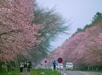 満開になった「二十間道路」の桜=北海道新ひだか町静内で2016年5月5日、福島英博撮影